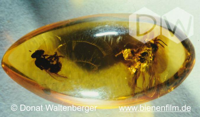 Eine im Bernstein eingeschlossene Meliponine. Alter: ca. 35 Millionen Jahre Fundort: Dominikanische Republik